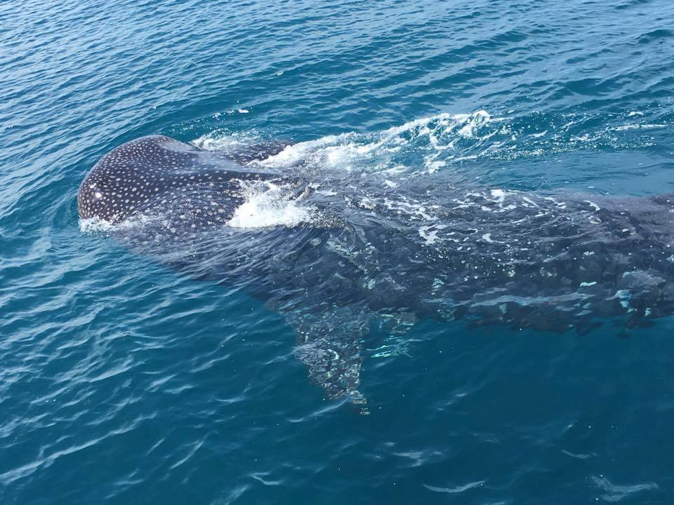 A large 50ft whale shark cruised past the private charter the other day aboard the HUB at Hubbard's Marina PHOTO BY-Joseph E Stein III