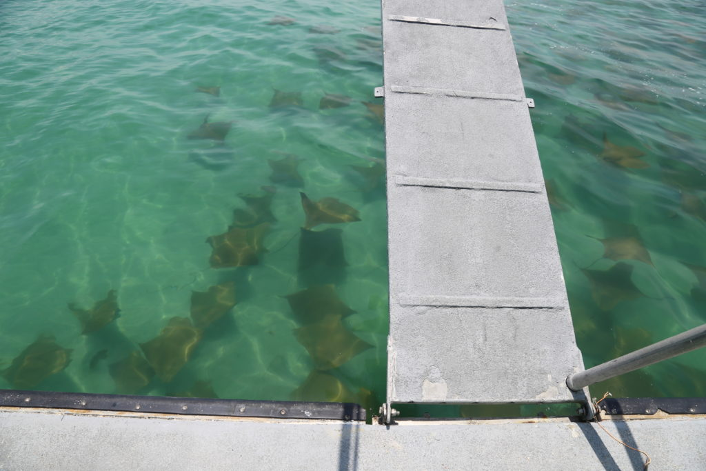 Big school of rays cruising by our ferry boat as it runs guests between Fort DeSoto's bay pier and the beautiful island paradise we call Egmont Key