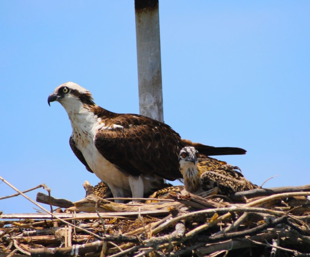 Osprey with it's baby spotted while cruising around Egmont Key island on the Tampa Bay ferry ran by Hubbard's Marina that runs daily to the island from Fort DeSoto park
