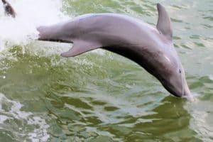 Playful Dolphins Around Hubbard's Marina Inside Johns Pass, FL
